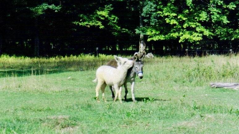 1999-donkeys-Trail-Blazers